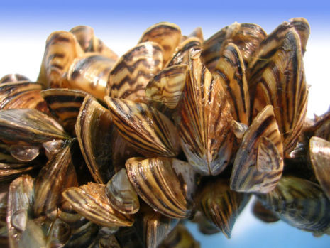 The spread of invasive zebra mussels in Texas threatens native mussel species.
