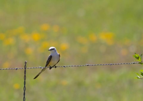 Scissor-tailed Flycatcher. Photographer: Chuck Duplant