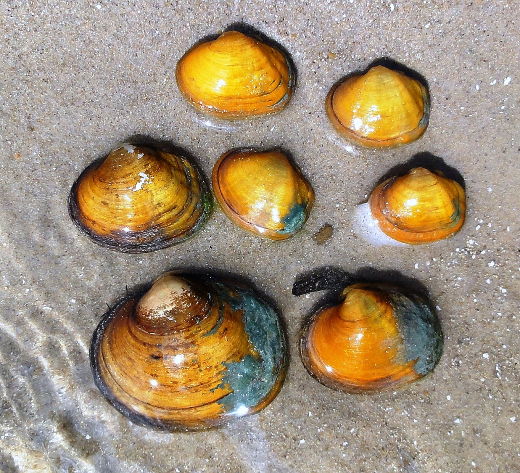 Freshwater mussels are a keystone species, and one of the many different creatures that are threatened by human impacts like off-channel reservoirs construction.