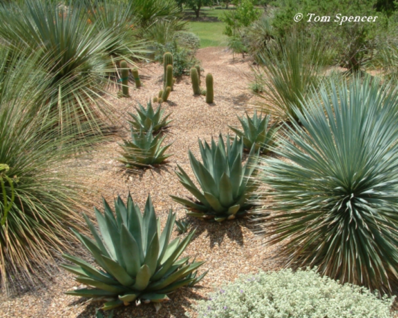 Agaves, yuccas and cacti are native plants resilient to climate change.