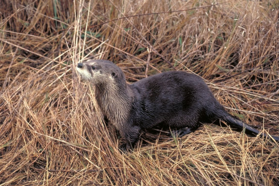 River otters benefit from the work Texas Living Waters Project does to protect healthy rivers and wildlife.