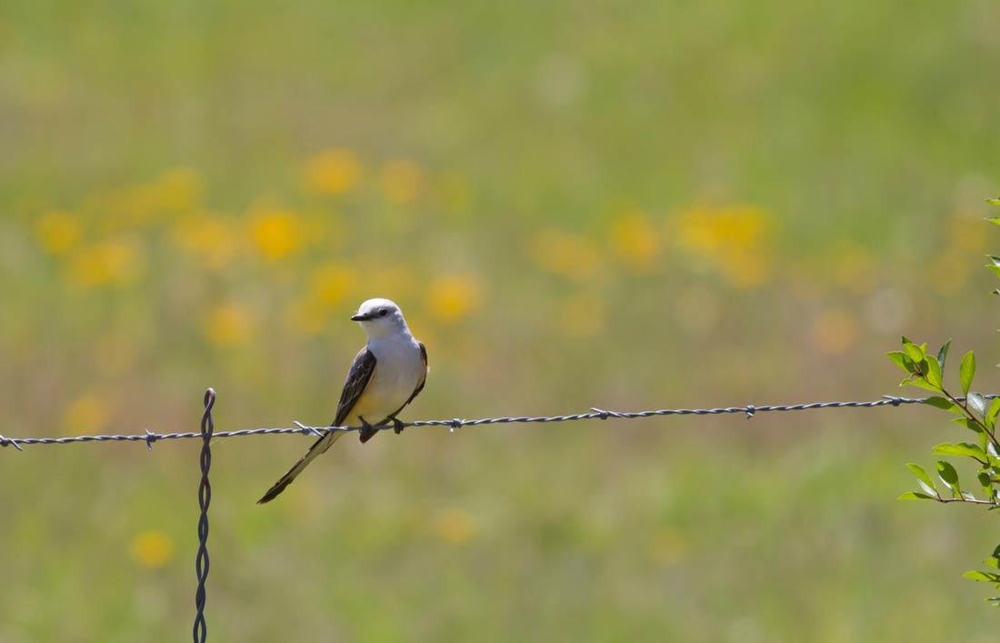 Scissor-tailed Flycatcher. Photographer: Chuck Duplant