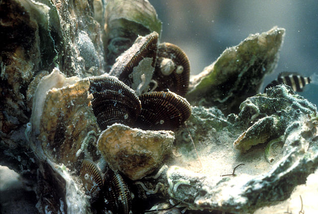 Up-close photo of an oyster bed from the Gulf Coast.